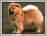 Pies, Chow chow